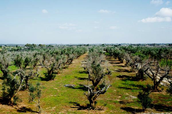 Xylella fastidiosa affected trees