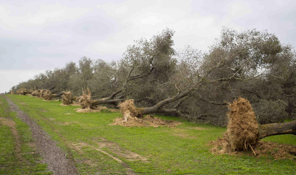 Xylella affected tree