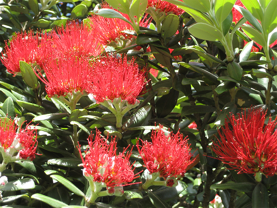 Metrosideros excelsa (New Zealand Christmas tree). Courtesy of: commons wikipedia