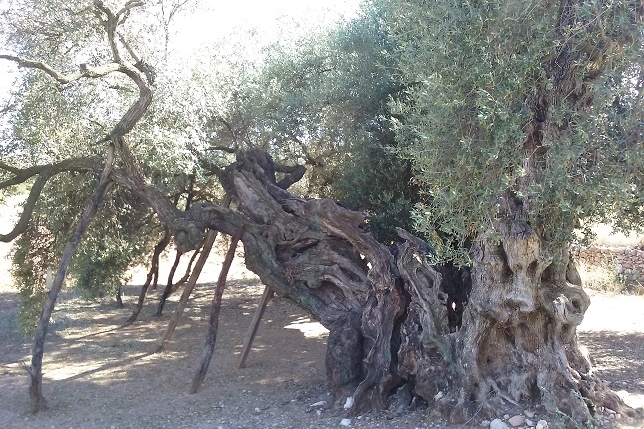 A millenary olive tree in the natural museum of La Jana, Spain.