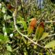 phillyrea-latifolia-xylella