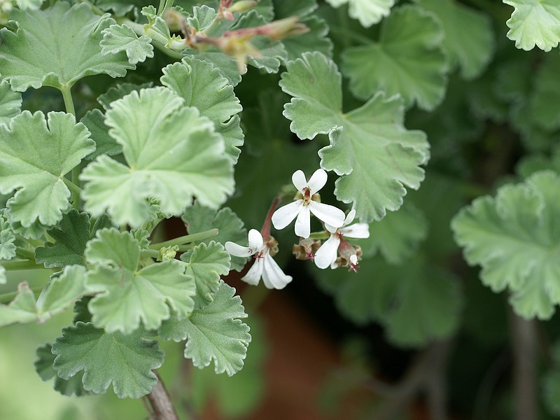 Pelargonium x fragrans, 'scented geranium' (Photo by Kriss de Niort)